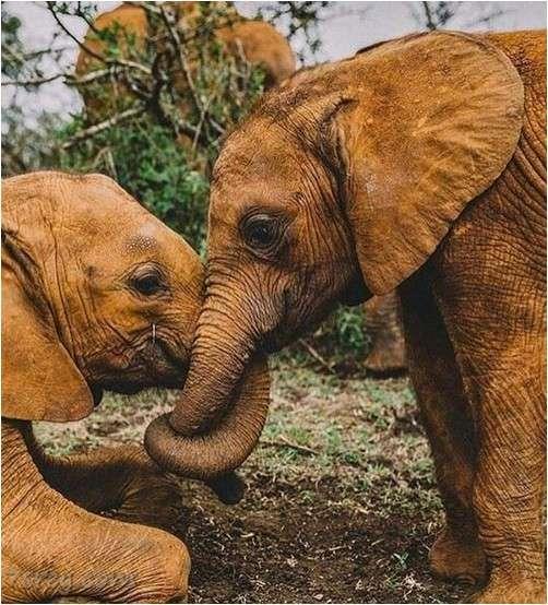 صور فيل