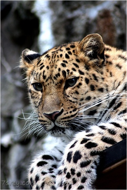 صور الفهد