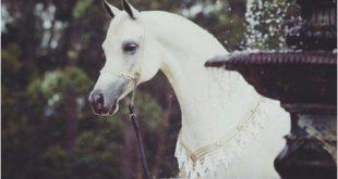 صور خيول عربية جميلة