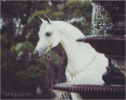 صورة صور خيول جميلة , أحلي صور حصان عربي أصيل , خلفيات خيول رائعة