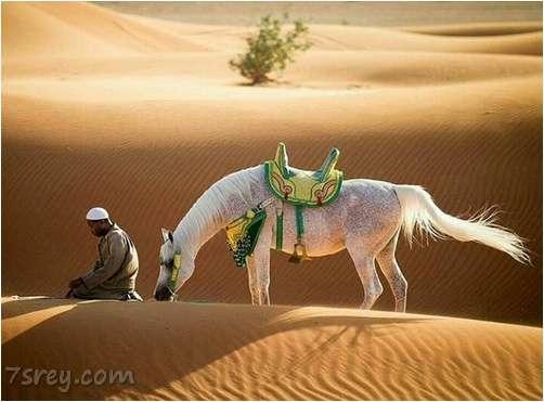 صور الخيول العربية