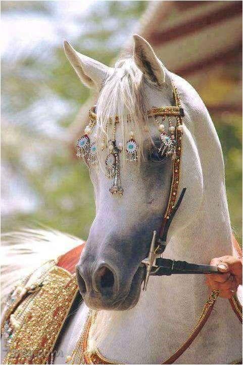صور خيول عربية