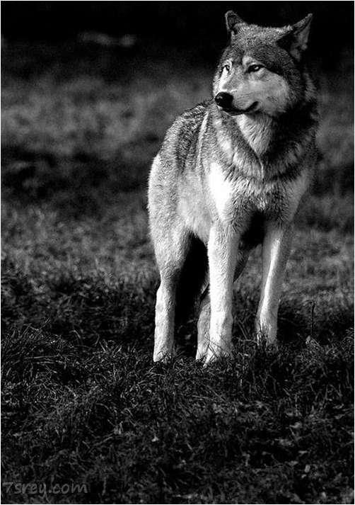 صور ذئب