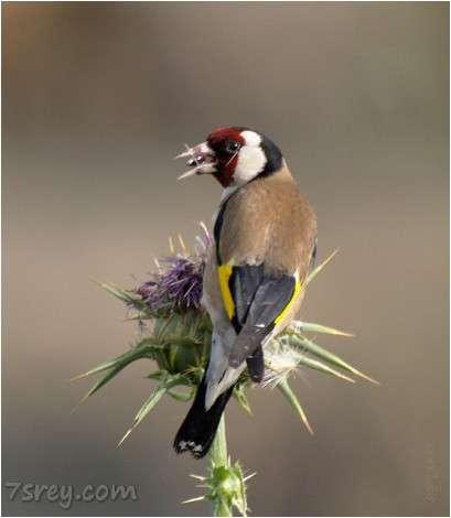 صور طائر الحسون