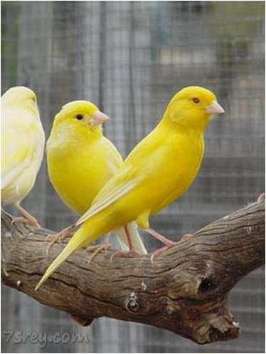 صورة صور عصافير كناري , خلفيات عصفور كنارية , أجمل صور كنارى