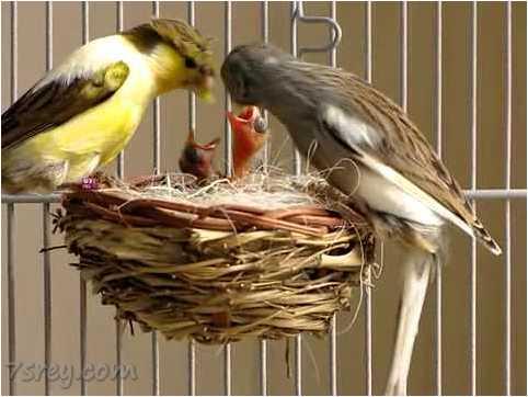 صور عصافير كناري