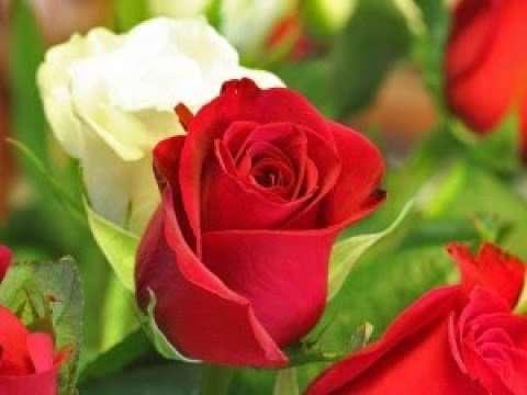 صورة حكم عن الورد والوانة , امثال واقوال عن الورد والحب