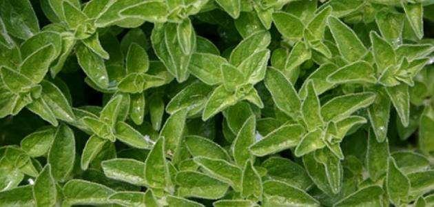 فوائد عشبة البردقوش 90 فائدة للبردقوش للجسم والشعر و التخسيس موقع حصرى