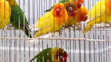 تربية العصافير